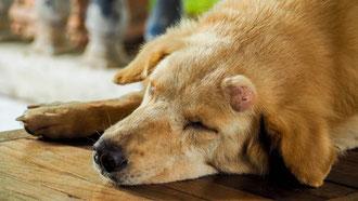 Vieux chien pendant une consultation gériatrique