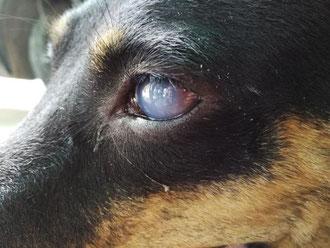 Vieux chien avec une cataracte