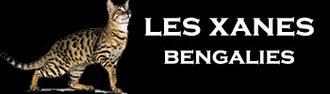 Bengals avec pedigree issus des meilleures lignées (maneki-neko,millwood,hunterdonhall,jungle echo's) lignées de grands champions d'europe
