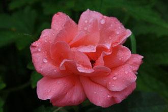 Blume nach Regen