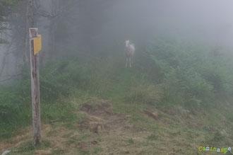 N°36/ Col de Lagréou fauché et une brebis sans cloche perdue dans le brouillard !