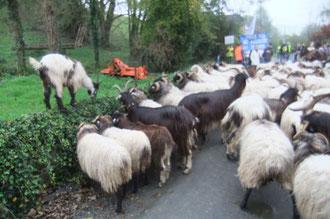 Brebis et chèvres manifestent à leur façon le long des haies...