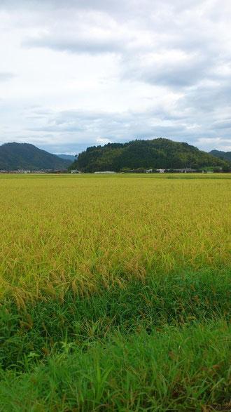 稲刈り前の田園風景(京都府与謝野町)9月9日撮影