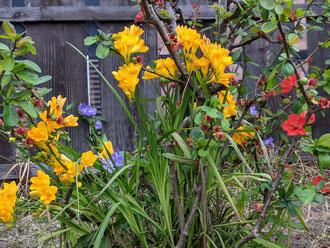 お庭の水仙。昨年はなかったような・・・。
