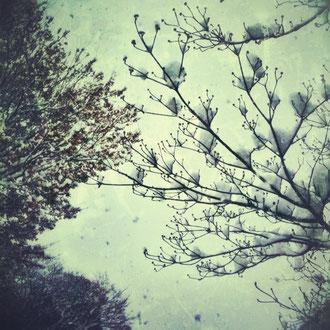 我が家の前の木に雪が積もりました。。。さむっっ。