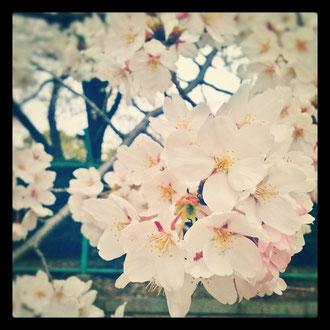 それにしても桜の写真って難しいな~。