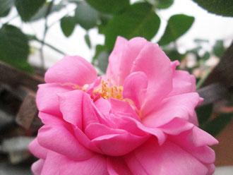 2月25日、次々と咲いて、香りも素晴らしい♪