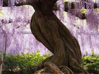 この幹が巨大な藤を支えています。
