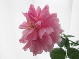 今、咲かせると春に咲く力が弱る、とは思っても…