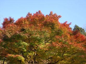 蔵王神社の紅葉、今が盛り。