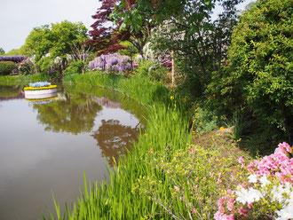 池のほとりの黄ショウブ、もうすぐ咲きます。