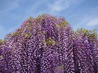 藤の花は青空に映えます。
