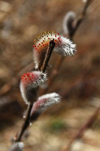 ネコヤナギ  赤い葯と黄色の花粉がきれい