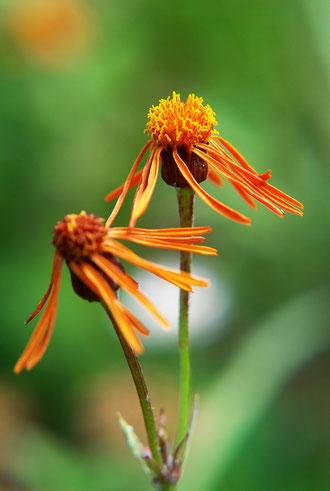 コウリンカ (紅輪花) キク科