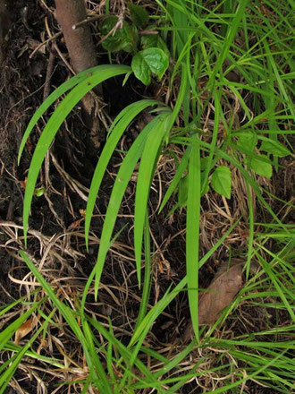 ヒメシャガの葉