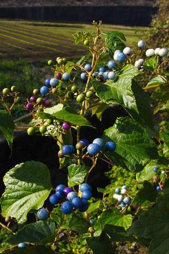 ノブドウの果実