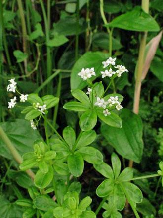 ハナムグラ 花葎 アカネ科 ヤエムグラ属