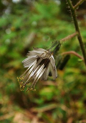 舌状花のみの小花。長い雄しべが目立ちます。