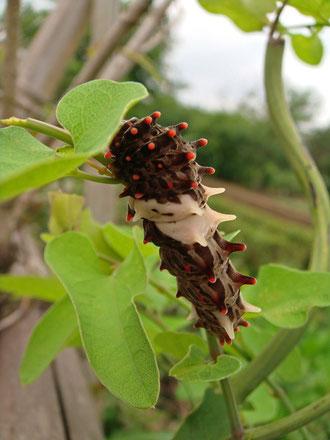 #12 ジャコウアゲハの幼虫