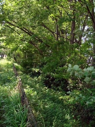 玉川上水 どんどん緑が濃くなる