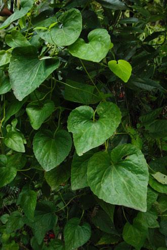 ツルギキョウの葉