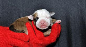 Rüde Nr. 2 - Alf  2,5 Tage alt