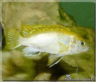 Jeune mâle perlmutt (origine 35eme Meridien)