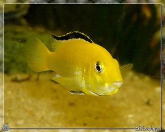 Femelle labidochromis en incubation