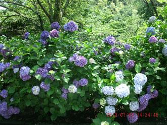 これは紫陽花ね、色が濃くなってた、