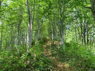 ▲ブナの若木の森