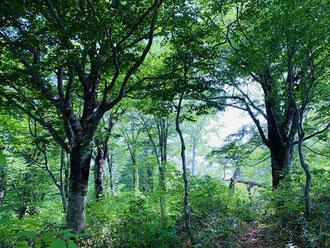 ▲ブナの巨木の森