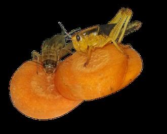 Grille Heuschrecke Gut Loading Karotten fressen