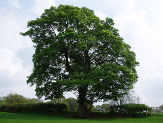 Sycamore, Acer pseudoplatanus. Photograph by amandabhslater/ Amanda Slater on Flickr reusable ounder Creative Commons Licence: Attribution-Share Alike 2.0.