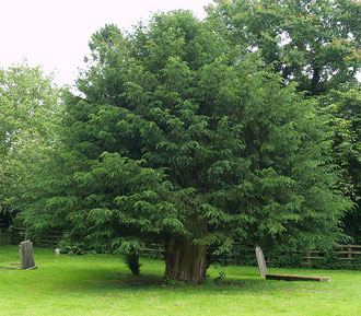 Photograph of a Nottinghamshire yew by Keith Marshall/ kcm76 on flickr. Image reusable under Creative Commons Licence: Attribution-Noncommercial-Share Alike 2.0 Generic.