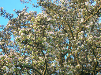Pyrus pyraster, wild pear in blossom in Ayrshire, image made available for reuse by Roger Griffith/ Rosser1954 on Wikimedia Commons.