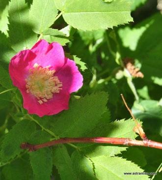 Rosa pendulina-Rosa alpina-Alpen-Hagrose-Hängerose-Alpenheckenrose-Alpen-Rose - Gebirgs-Rose - Rosier des Alpes - Rosa alpina - Wildrosen - Wildsträucher - Heckensträucher - Ökologie - Wildrose
