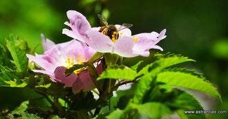 Wildrosen - Wildsträucher - Heckensträucher - Artenvielfalt - Ökologie - Biodiversität