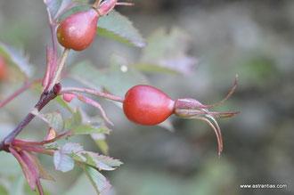 Rosa glauca - Rosa rubrifolia - Rosa ferruginea - Bereifte Rose - Rotblättrige Rose - Hechtrose - Rotblatt-Rose - Rosier glauque - Rosa paonazza - Wildrosen - Wildsträucher - Heckensträucher-Wildrose