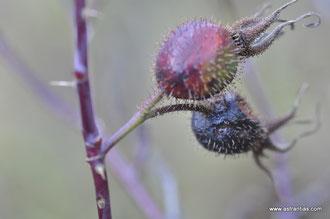 Rosa montana - Berg-Rose - Rosier des montagnes - Rosa montana - Wildrosen - Wildsträucher - Heckensträucher - Artenvielfalt - Ökologie - Biodiversität - Wildrose