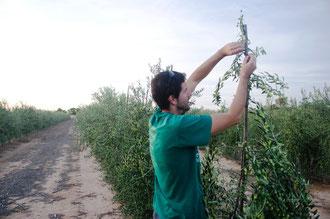 David Gil Egerique cuida personalmente cada olivo