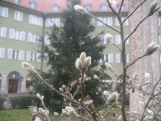 Sternmagnolie und Weihnachtsbaum