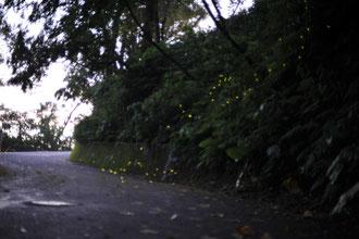 クロイワボタルが幻想的に明滅する名護中央公園道