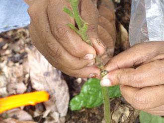 Aufsetzen von Kakaoästen