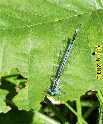 Blaue Federlibelle, Männchen