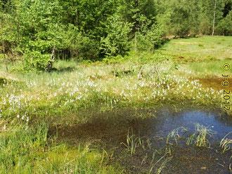 Das Rote Wasser oder Olfener Moor im Mai/Juni
