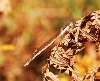 Gemeine Winterlibelle, Weibchen