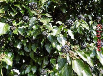 Efeu - Fruchtstand