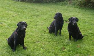 3 Generationen Labradore aus der Arbeitslinie
