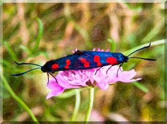 Calabria - Fiumefreddo Bruzio, farfalle in amore