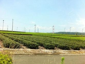 ☆さやま茶の茶畑。柱の上のフアンにご注目。